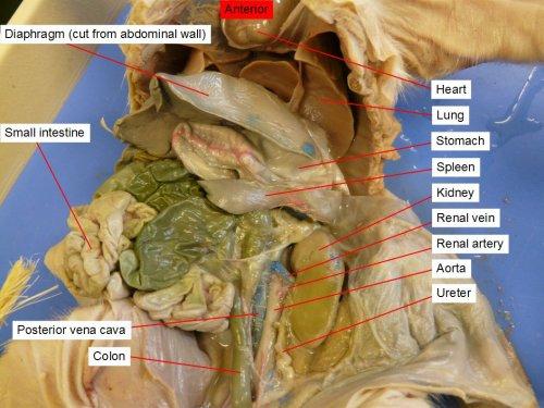 small resolution of 42 aorta colon large intestine diaphragm heart kidney