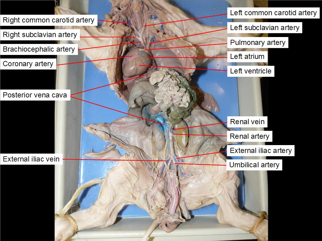 fetal pig skeleton diagram truss tension and compression reading dissection biology ii laboratory manual