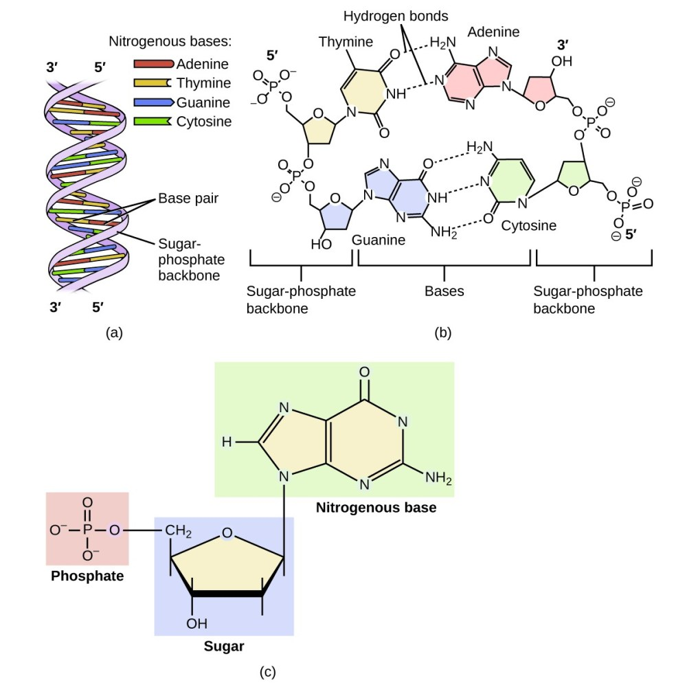 medium resolution of diagram a shows dna as a double helix composed of the nitrogenous bases adenine thymine