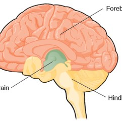 Lower Brain Diagram Car Tow Hitch Wiring The And Spinal Cord Introduction To Psychology An Illustration Shows Position Size Of Forebrain Largest Portion