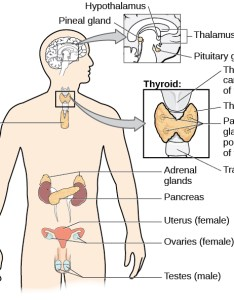 The endocrine system also introduction to psychology rh coursesmenlearning