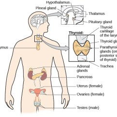 Endocrine System Diagram Nuheat Solo Thermostat Wiring The Introduction To Psychology A Of Human Body Illustrates Locations Thymus Several Parts Within