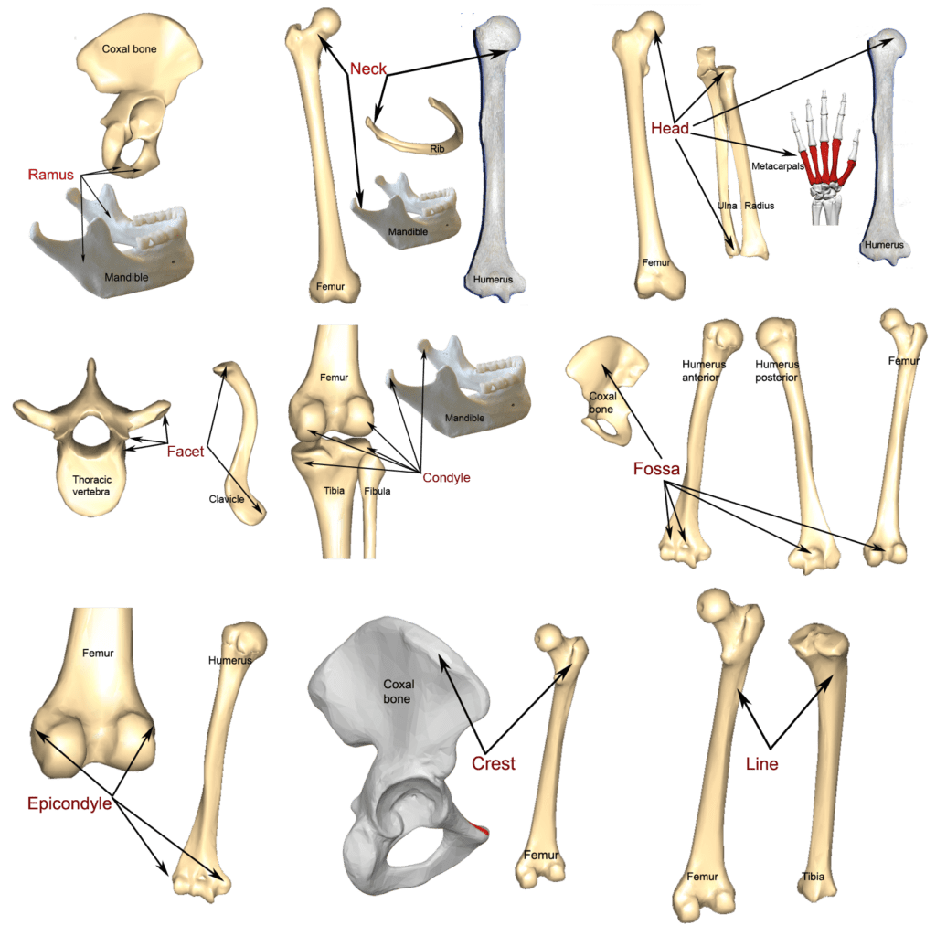 Bone Markings Processes And Cavities