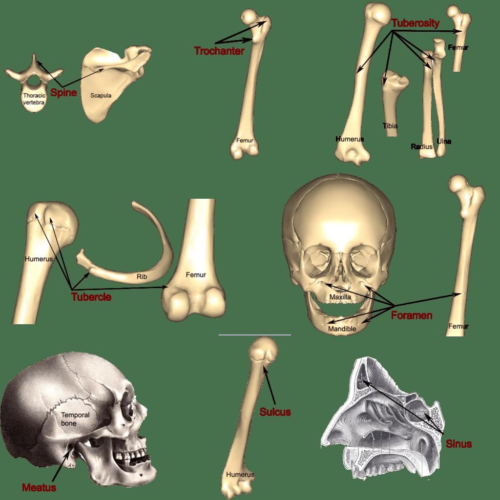 Bone Markings Processes And Cavities