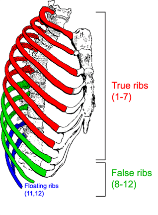 Rib Cage Labeled Diagram : labeled, diagram, Thoracic, Sternum, Human, Anatomy, Physiology