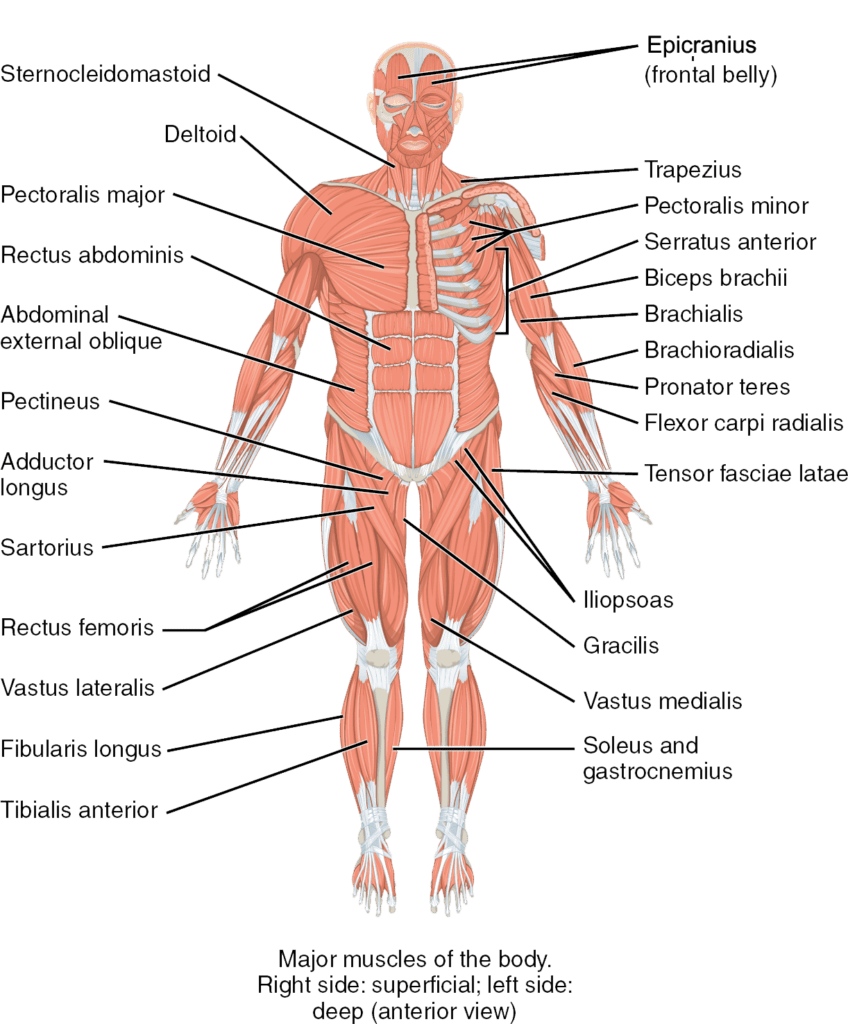 medium resolution of the major muscles of the body anterior view anatomical right shows superficial muscles anatomical left shows deep muscles