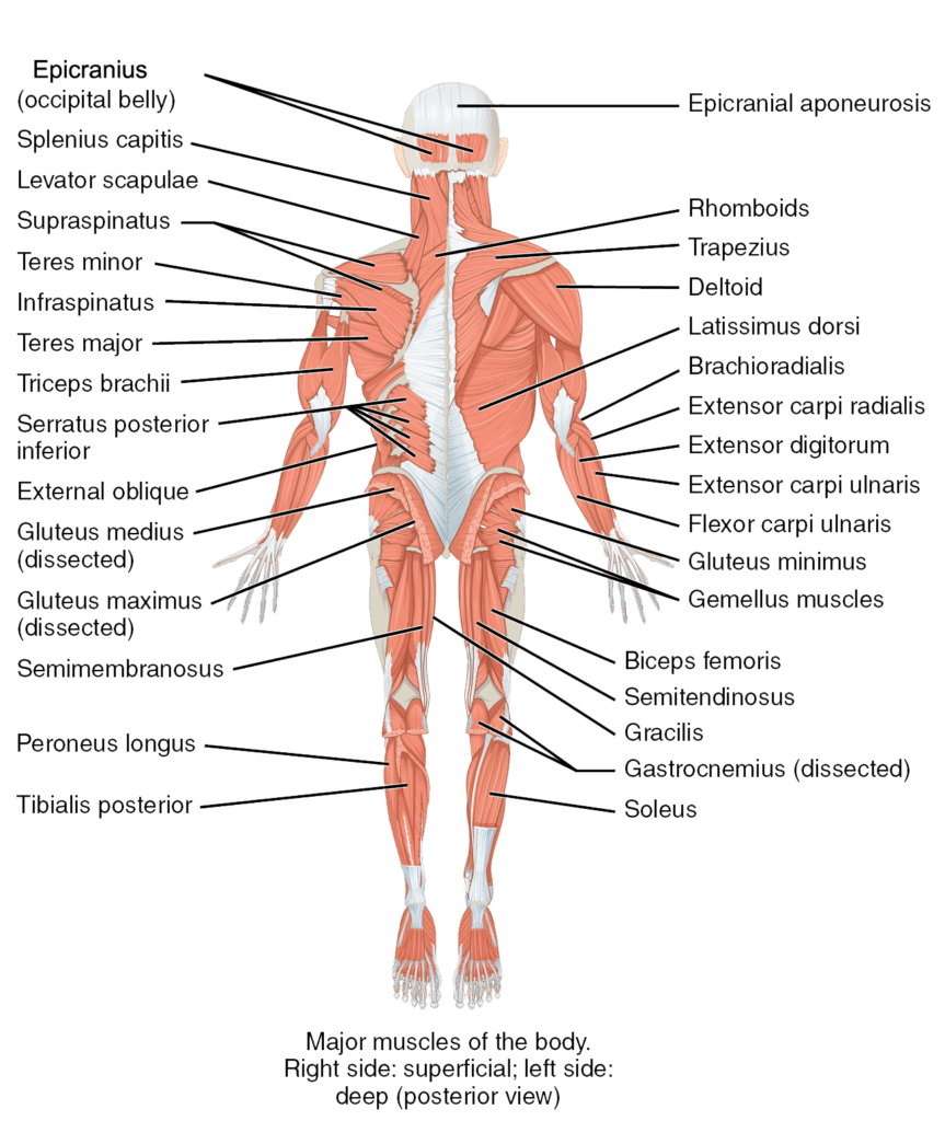 hight resolution of the major muscles of the body posterior view anatomical right shows superficial muscles anatomical left shows deep muscles