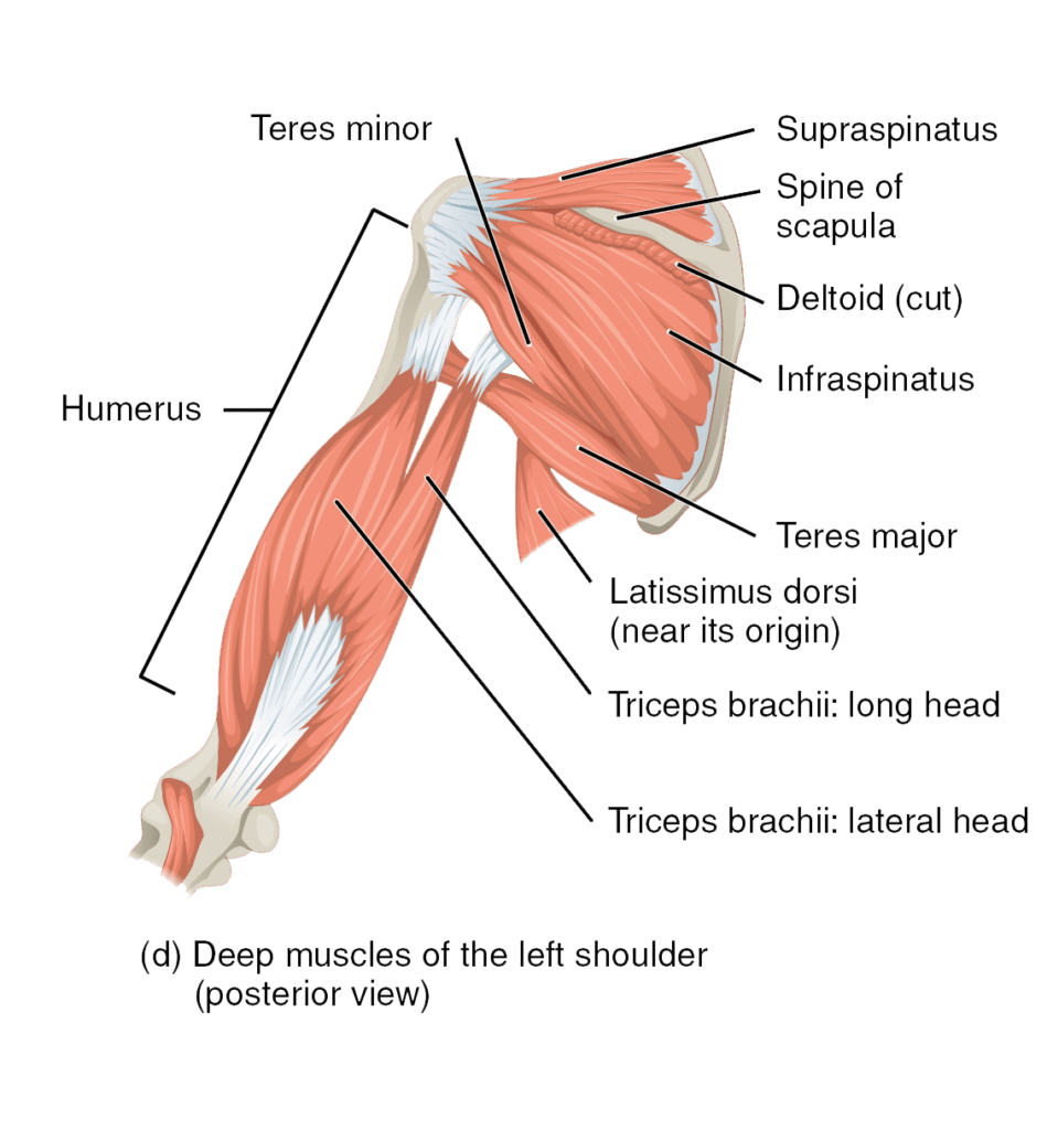 hight resolution of the muscles of the rotator cuff and arm posterior view