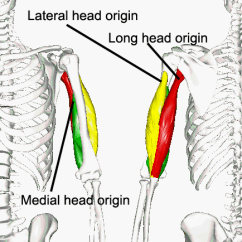 Triceps Brachii Diagram Starter Wiring Chevy 305 Muscles Of The Upper Arm Human Anatomy And Physiology Lab Bsb 141 Three Heads Color Coded To Distinguish Them Keep In Mind Despite Different Colors All Are Parts Same One