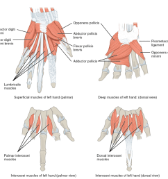 the muscles of the hands  [ 1024 x 999 Pixel ]