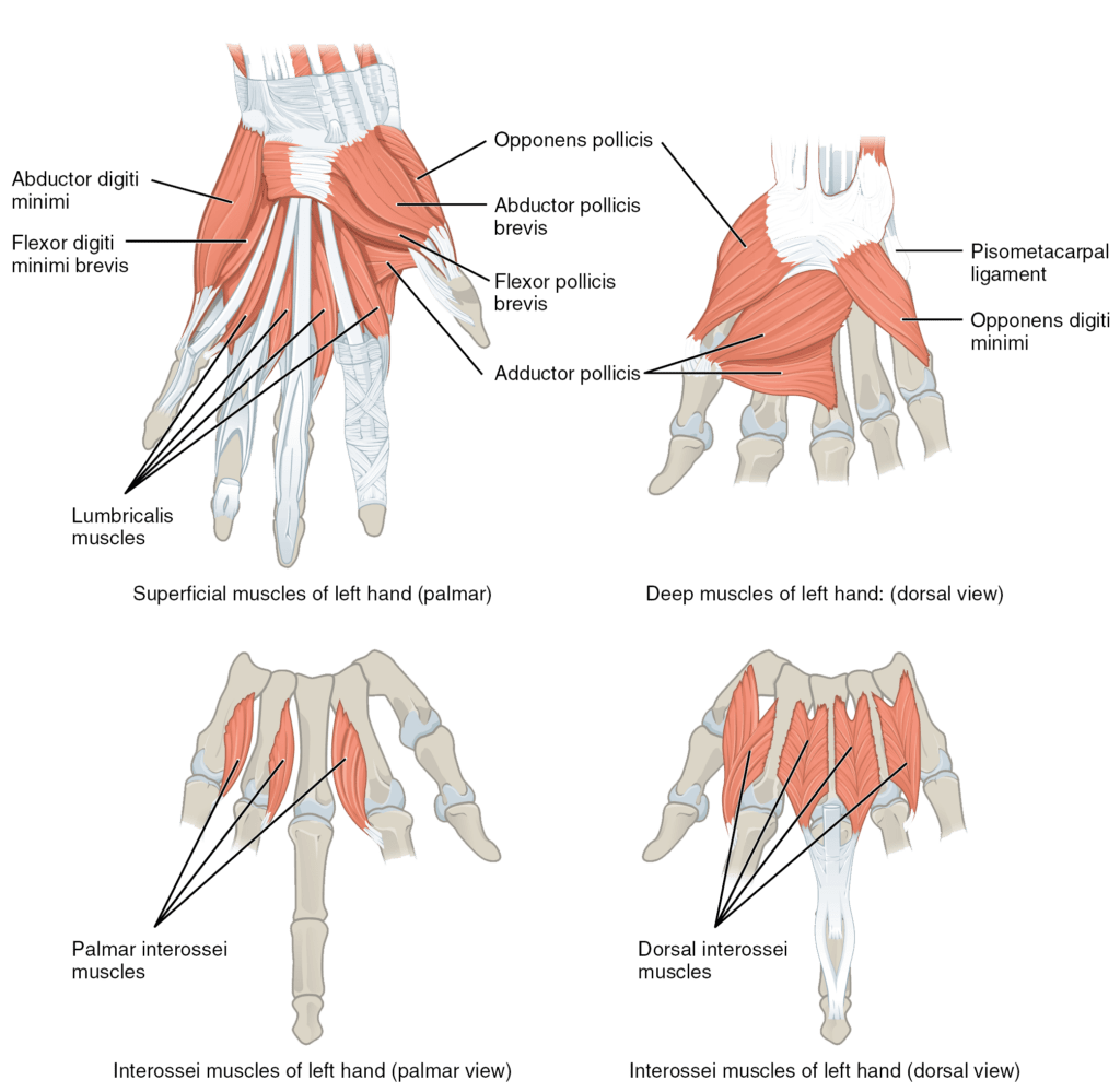 hight resolution of the muscles of the hands