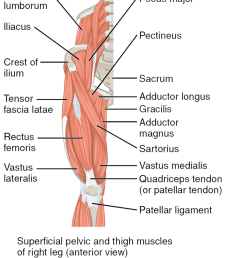 figure 9 8 the superficial muscles of the thigh  [ 855 x 1024 Pixel ]