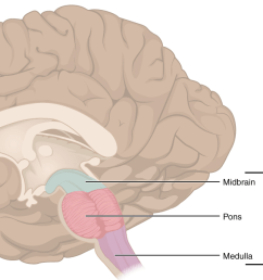 the parts of the brain stem  [ 1200 x 690 Pixel ]