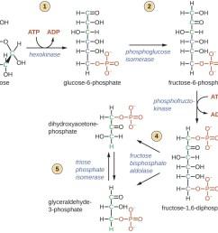 glycolysis [ 1112 x 945 Pixel ]