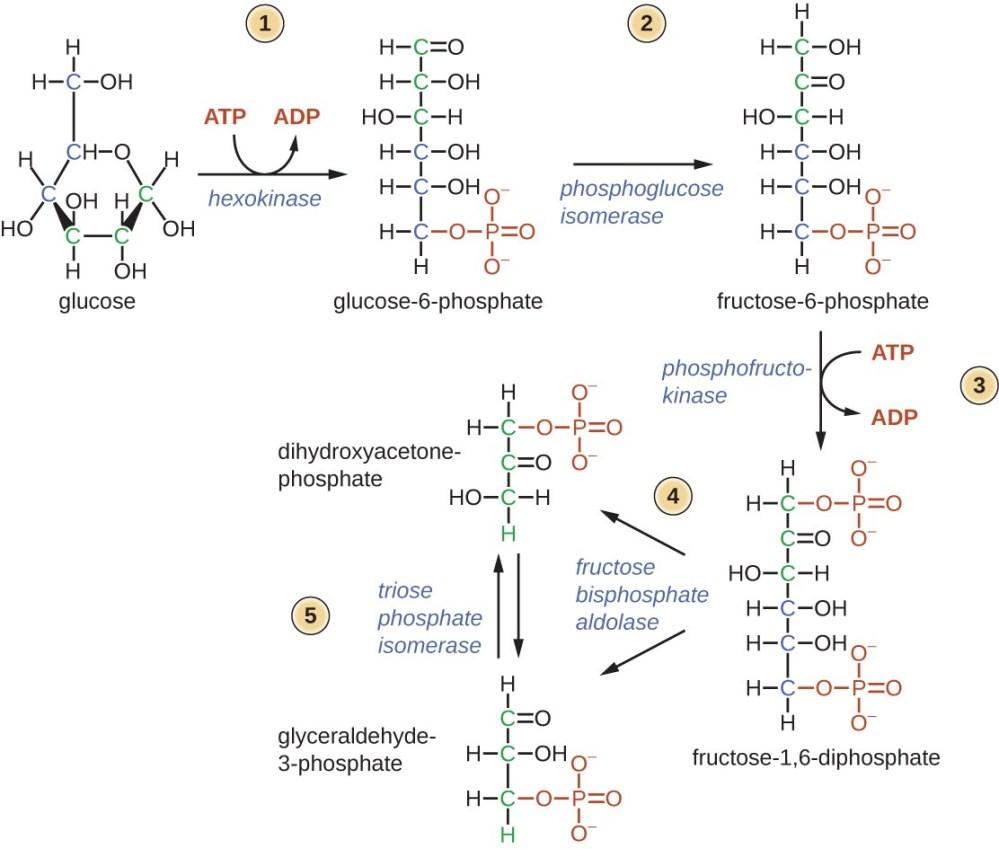 medium resolution of glycolysis