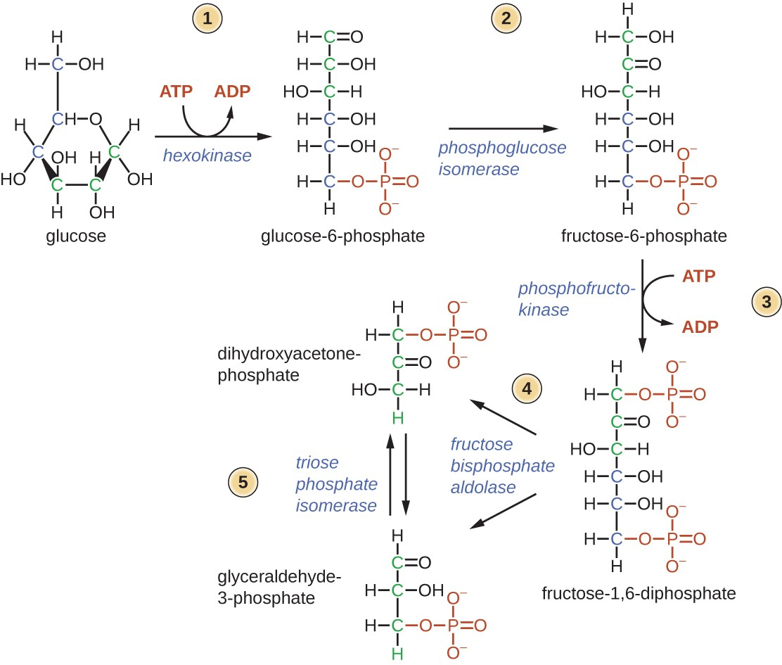 hight resolution of glycolysis