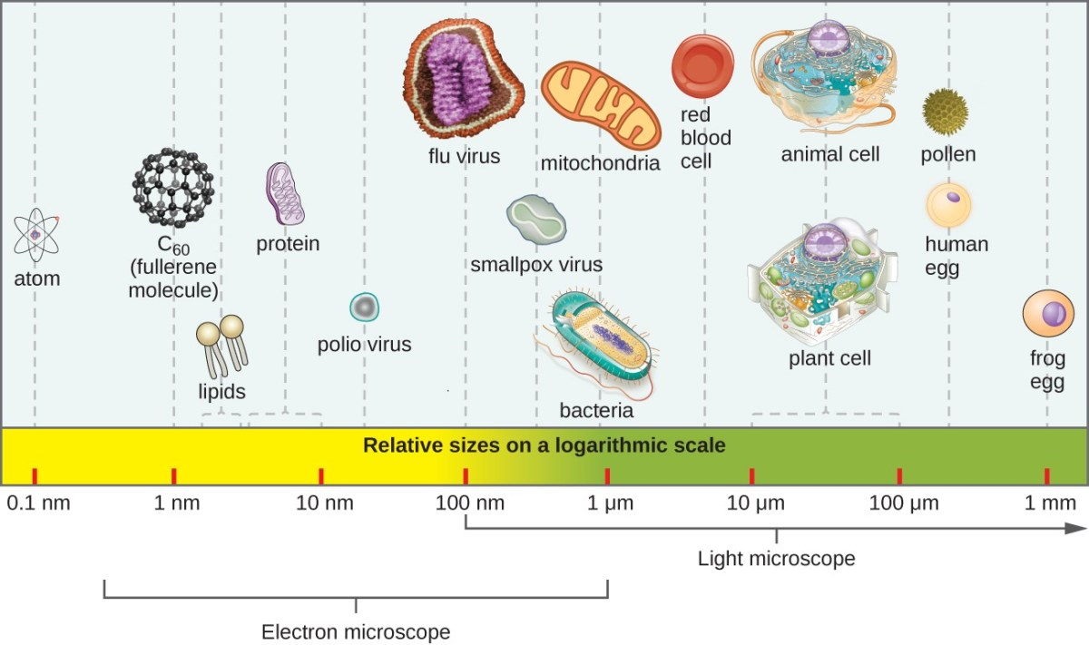 A bar along the bottom indicates size of various objects. At the far right is a from egg at approximately 1 mm. To the left are a human egg and a pollen grain at approximately 0.1 mm. Next are a standard plant and animal cell which range from 10 – 100 µm. Next is a red blood cell at just under 10 µm. Next are a mitochondrion and bacterial cell at approximately 1 µm. Next is a smallpox virus at approximately 500 nm. Next is a flu virus at approximately 100 nm. Next is a polio virus at approximately 50 nm. Next are proteins which range from 5-10 nm. Next are lipids which range from 2-5 nm. Next is C60 (fullerene molecule) which is approximately 1 nm. Finally, atoms are approximately 0.1 nm. Light microscopes can be used to view items larger than 100 nm (the size of a flu virus). Electron microscopes are useful for materials from 1.5 nm (larger than an atom) to 1 µm (the size of many bacteria).