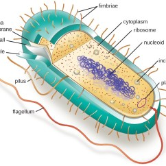 Microbiology Prokaryotic Cell Diagram Labeled Medieval Castle Unique Characteristics Of Cells A Rod Shaped The Thick Outer Layer Is Called