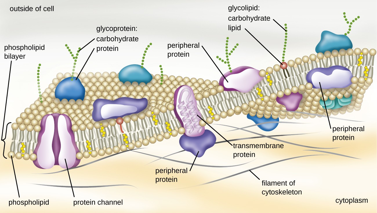 hight resolution of a drawing of the plasma membrane the top of the diagram is labeled outside of