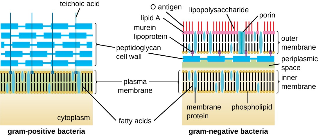 human cell wall diagram labeled murray lawn mower drive belt unique characteristics of prokaryotic cells microbiology the gram positive bacterial shows a plasma membrane on top