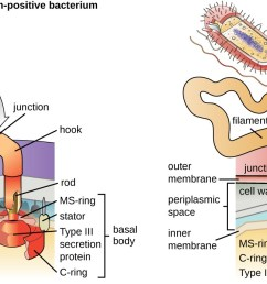 a diagram showing the attachment point of flagella in gram positive and gram negative [ 1300 x 692 Pixel ]