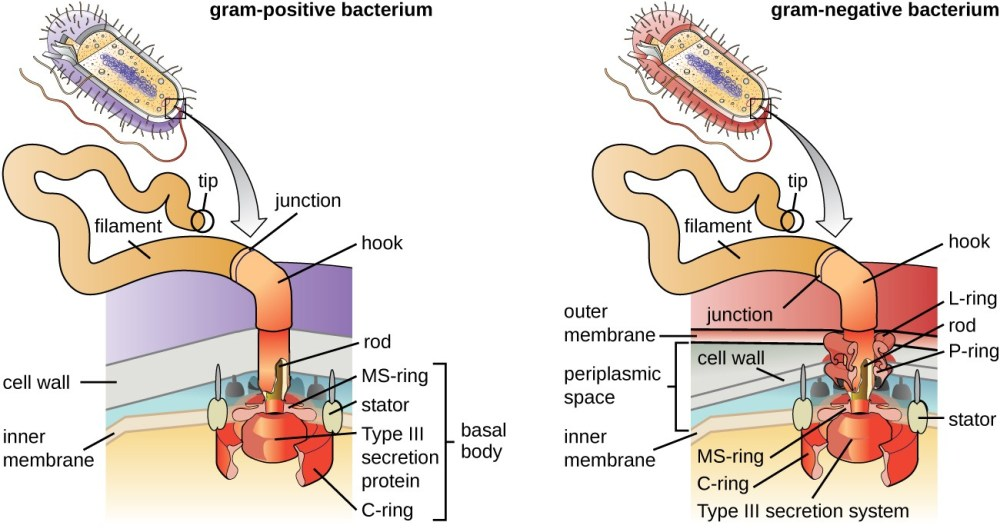 medium resolution of a diagram showing the attachment point of flagella in gram positive and gram negative