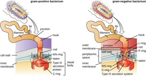 small resolution of a diagram showing the attachment point of flagella in gram positive and gram negative