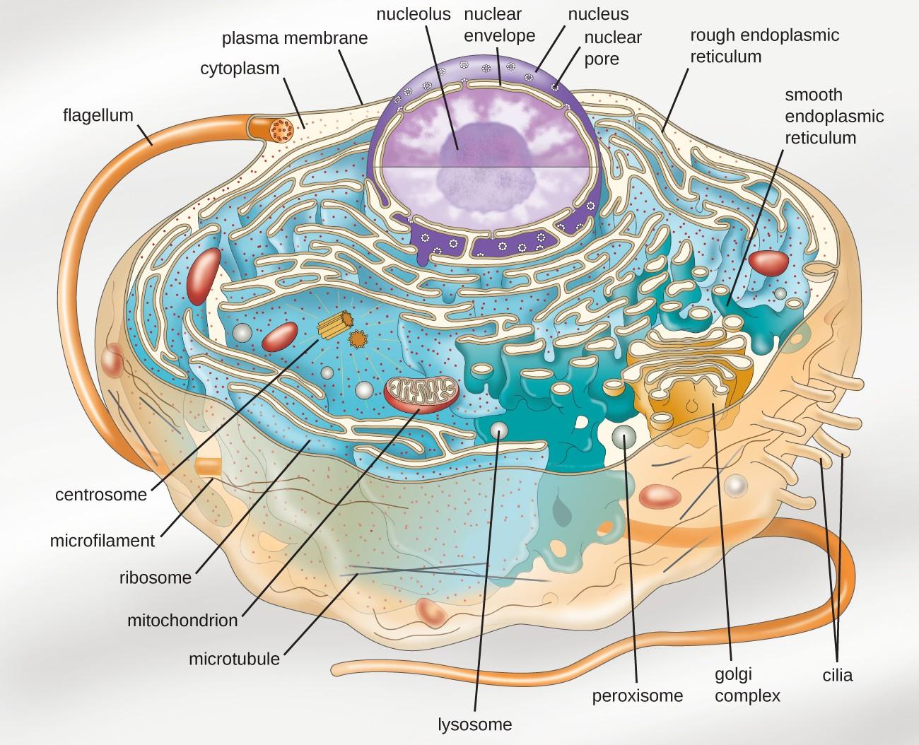 cell membrane diagram 1999 dodge durango car radio wiring unique characteristics of eukaryotic cells microbiology
