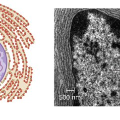 Microbiology Prokaryotic Cell Diagram Labeled Hand Off Auto Wiring Unique Characteristics Of Eukaryotic Cells |