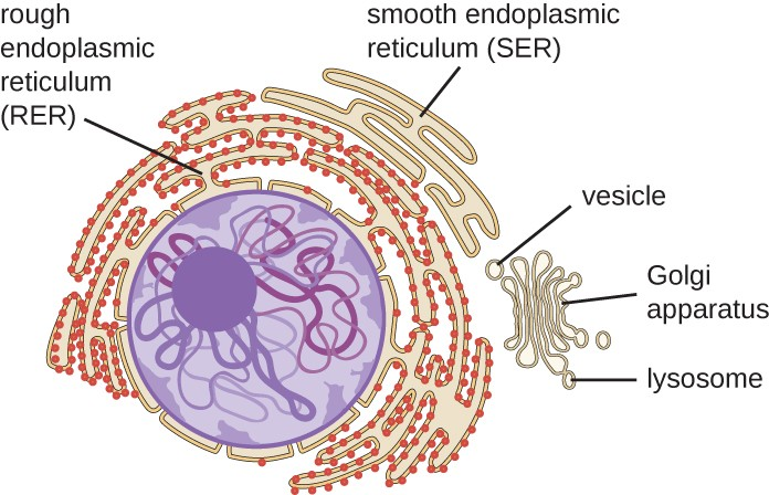 eukaryotic endomembrane system cell diagram simplicity 7116 wiring unique characteristics of cells | microbiology
