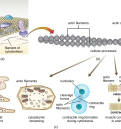 a a diagram of the plasma membrane shows the filaments of the cytoskeleton as thin [ 1294 x 995 Pixel ]