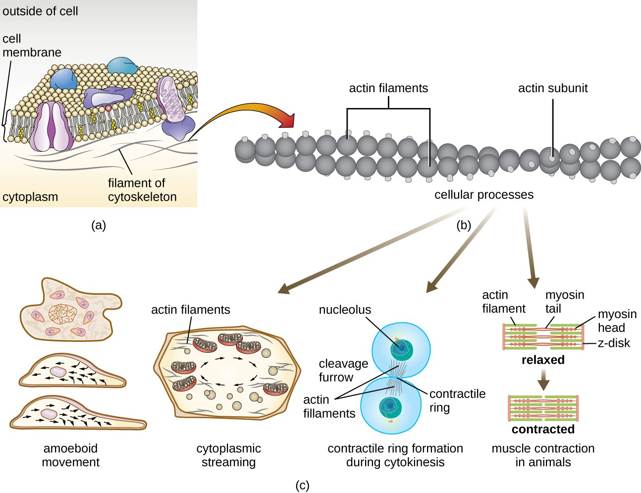 hight resolution of a a diagram of the plasma membrane shows the filaments of the cytoskeleton as thin