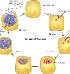 a diagram showing the life cycle of chlamydia an epithelial cell is infected by small [ 1064 x 1008 Pixel ]