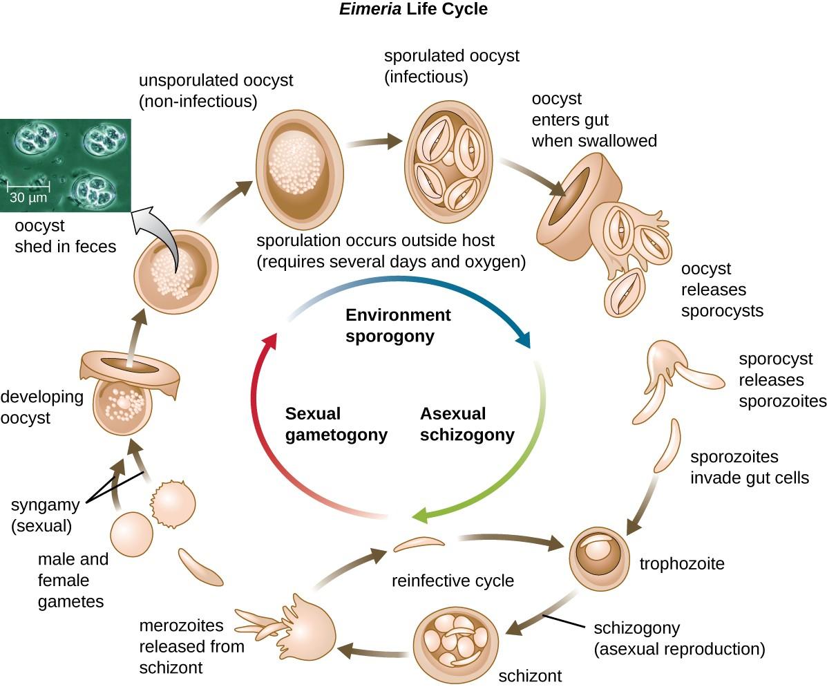 Unicellular Eukaryotic Parasites