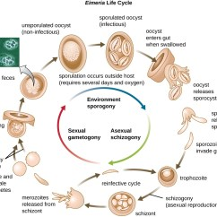 Explain The Process Of Nutrition In Amoeba With Diagram Toyota 22r Vacuum Unicellular Eukaryotic Parasites Microbiology
