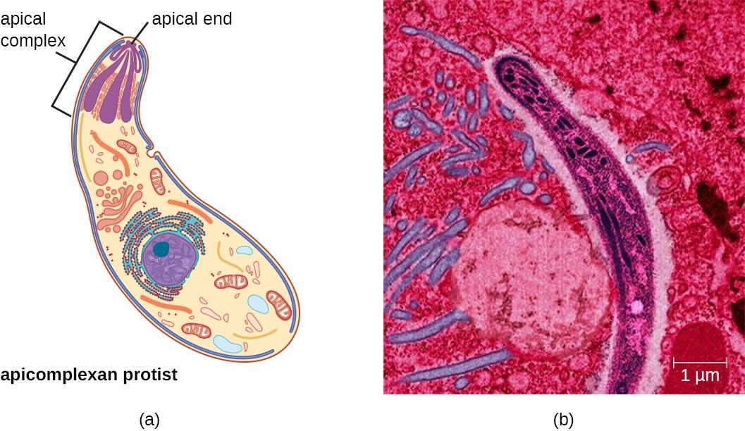 Unicellular Eukaryotic Parasites | Microbiology