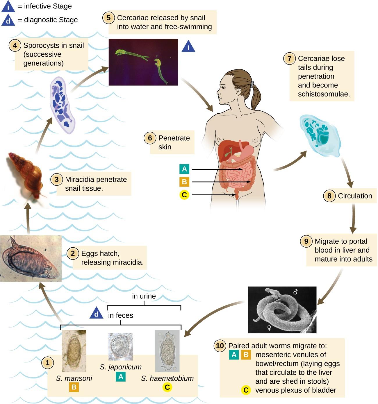 hight resolution of schistoma mansoni japonicum and haematobium are found in feces s japonicum and figure 4