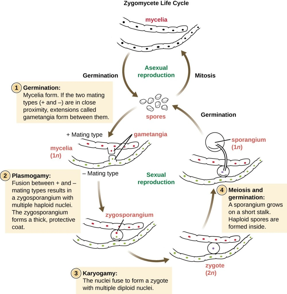 medium resolution of zygomycete life cycle the mycelia can undergo asexual reproduction by forming spores via mitosis