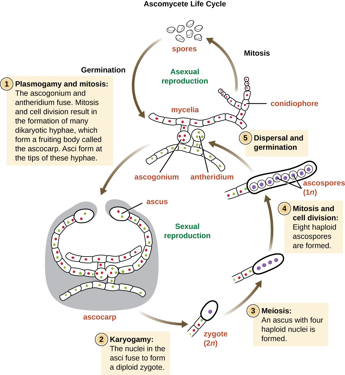 hight resolution of ascomycete life cycle mycelia produce conidiophores which use mitosis to asexually produce spores these