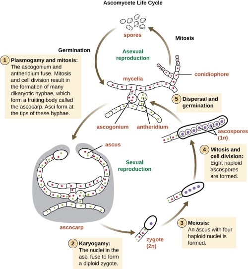 small resolution of ascomycete life cycle mycelia produce conidiophores which use mitosis to asexually produce spores these