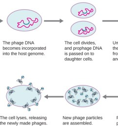 the steps of the lytic and lysogenic cycles first the phage infects a cell  [ 1299 x 715 Pixel ]