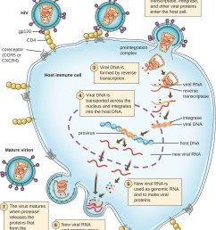 the hiv viral cycle step 1 the hiv fuses to the host cell [ 1200 x 1514 Pixel ]