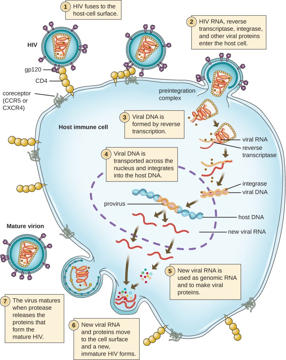 medium resolution of the hiv viral cycle step 1 the hiv fuses to the host cell