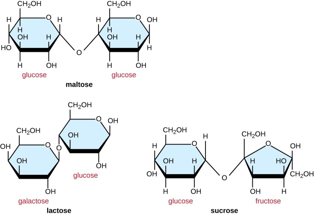 medium resolution of maltose is made of 2 glucose molecules linked with o from carbon 4 of one glucose