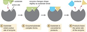 Energy, Matter, and Enzymes | Microbiology