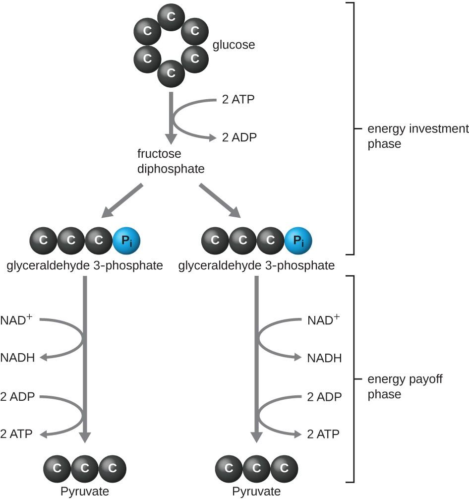 Biochemical evidence for evolution answer key