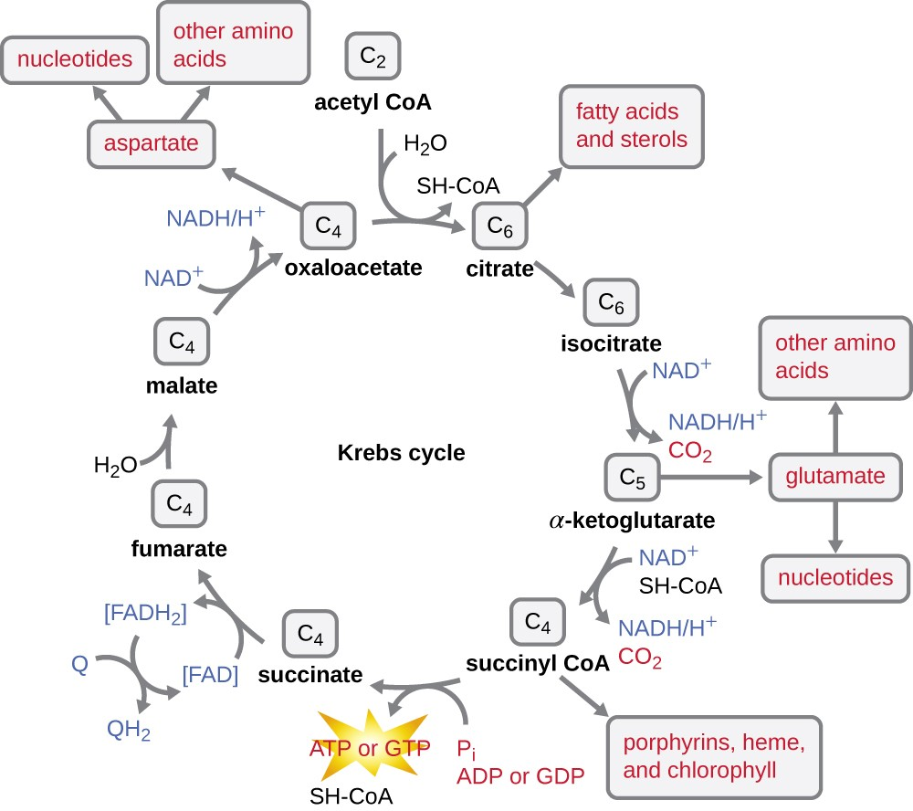 hight resolution of details of the kreb s cycle acetyl coa c2 enter at the top