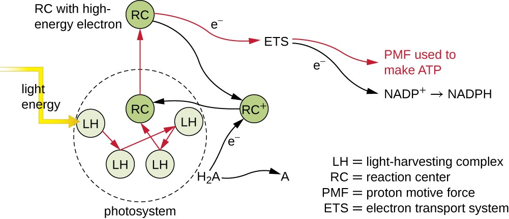 light reactions photosystem diagram plant cell without labels photosynthesis microbiology energy strikes lh harvesting complex in a this