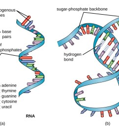 a a diagram of dna and rna dna has the double helix shape with [ 1179 x 756 Pixel ]