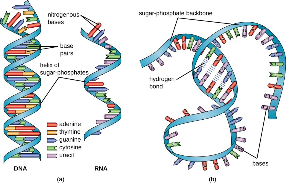 medium resolution of a a diagram of dna and rna dna has the double helix shape with